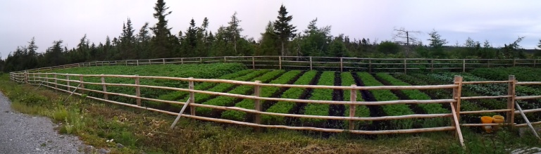Garden near Main Brook, NL Frenced to keep the moose and photographers out.