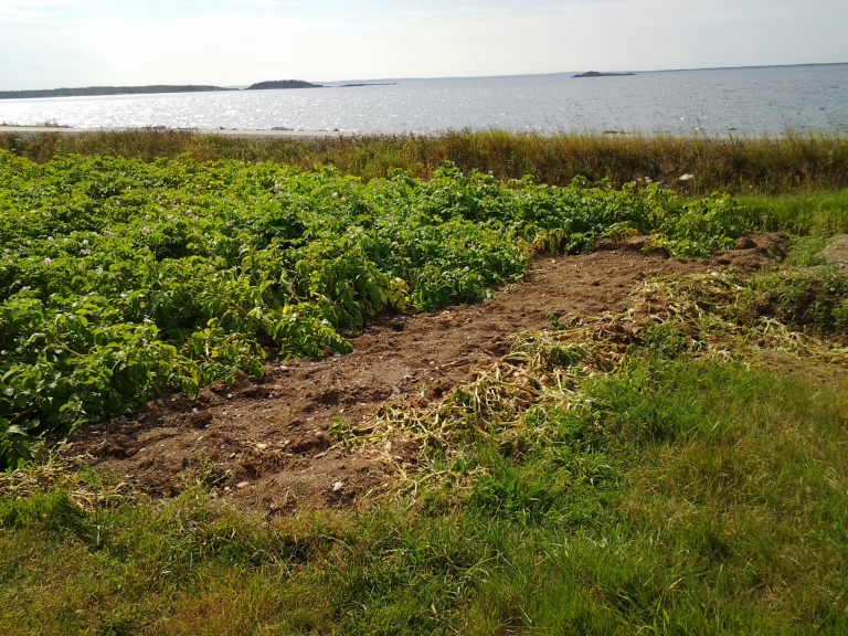 Potatoes ready for harvest, Little Seldom, Fogo Island