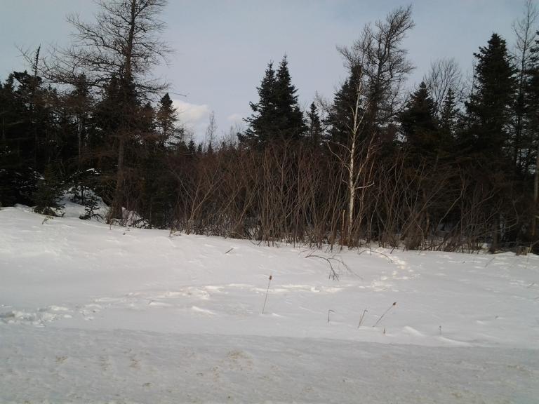 Moose or REALLY BIG bunny tracks.