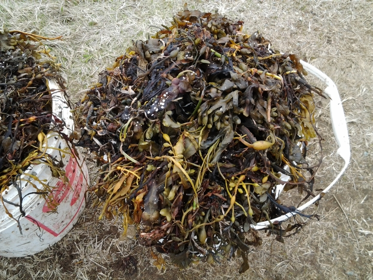 Kelp is collected from the beaches and used to fertilize Fogo Island gardens.