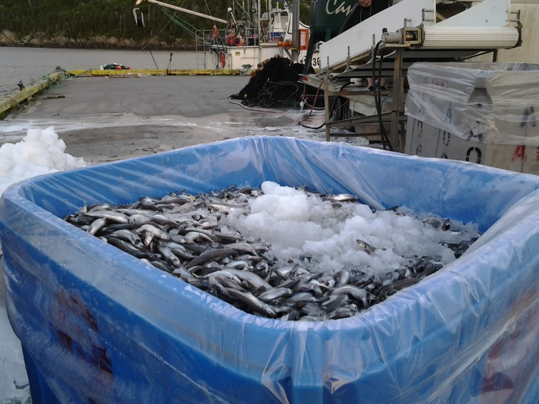 Capelin being off loaded from King Fisher, Plate Cove West, NL July 5, 2014