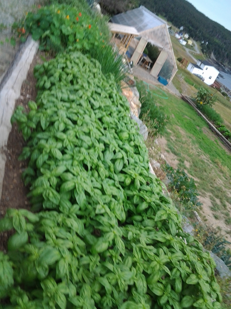 Bonavista Social Club, Upper Amherst Cove, NL Basil growing fresh across from your table.