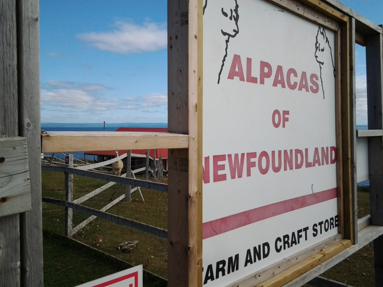 Newfoundland Alpaca farm is located on the ocean and an interesting stop on the Port aux Port peninsula.